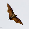 Greater Flying Fox. The wingspan is 5-feet!