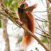 Male Raggiana Bird-of-Paradise. The female arrives and he goes into action.