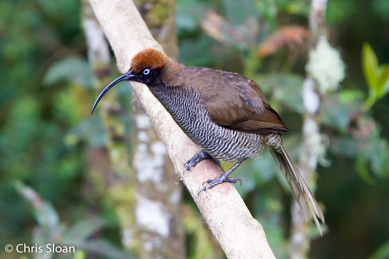 Female Brown Sicklebill Bird-of-Paradise