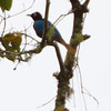 Blue Bird-of-Paradise male. Some of the twigs are plumes.
