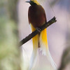 Lesser Bird-of-Paradise male. His plumes were in the Chief's headdress.
