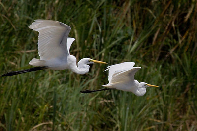 Egrets on Sepik River