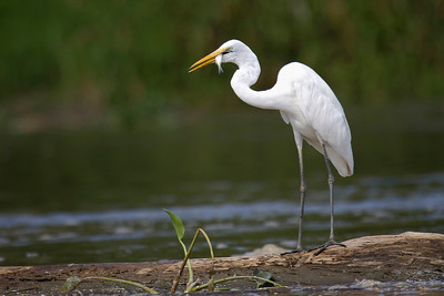 Egret catching a fish on Sepik River