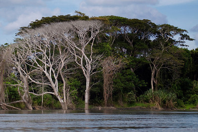 Trees along the banks of the Sepik River
