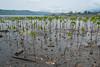 Early results of community-managed mangrove restoration at Warironi, Yapen Island, Papua, Indonesia, October 2015. [Papua Warironi 2015-10 32 YapenIs-Indonesia]
