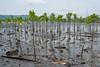 Early results of community-managed mangrove restoration at Warironi, Yapen Island, Papua, Indonesia, October 2015. [Papua Warironi 2015-10 33 YapenIs-Indonesia]