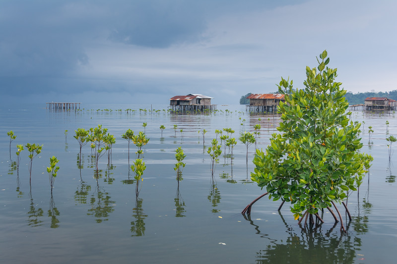 Mangroves, stages one and two, in a plot of the mangrove restoration project in Warironi Village, Yapen Island, Papua, Indonesia, October 2015. [Papua Warironi 2015-10 36 YapenIs-Indonesia]