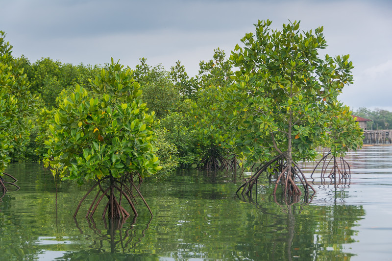Rhizophora sp. mangroves, results of community-managed mangrove restoration at Warironi, Yapen Island, Papua, Indonesia, October 2015. [Papua Warironi 2015-10 43 YapenIs-Indonesia]