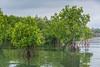 Rhizophora sp. mangroves, results of community-managed mangrove restoration at Warironi, Yapen Island, Papua, Indonesia, October 2015. [Papua Warironi 2015-10 43 YapenIs-Indonesia]