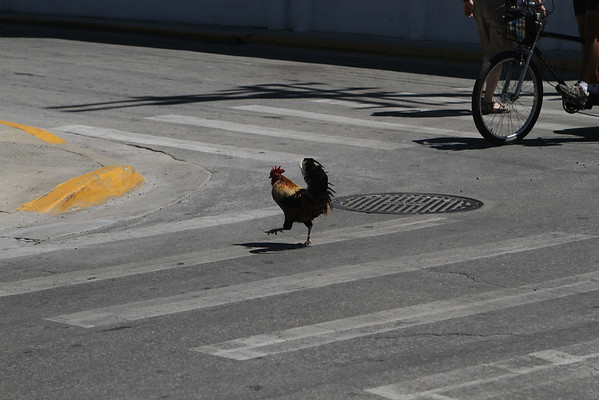 Don't know why the rooster crossed the street, but at least he used the cross walk.