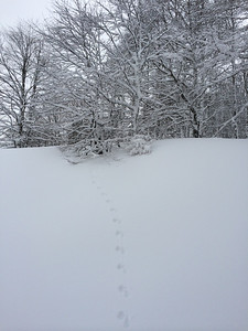 Foxes aren't the only things out and about in the snow.  These are wolf tracks.