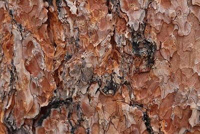 Ponderosa Pine... smells like vanilla!
