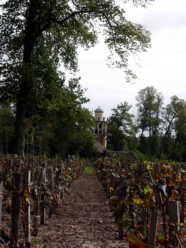 Vineyard at the Palace of Versailles grounds