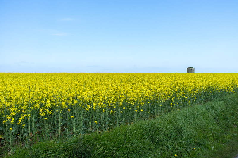 """Normandy- fields of rapeseed, aka canola. Trivia time: the word """"canola"""" comes from Can.O., L-A."""" (Canadian Oilseed, Low-Acid)."""