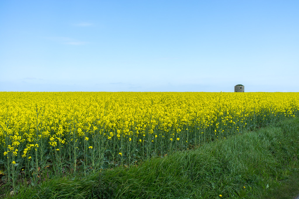 "Normandy- fields of rapeseed, aka canola. Trivia time: the word ""canola"" comes from Can.O., L-A."" (Canadian Oilseed, Low-Acid)."