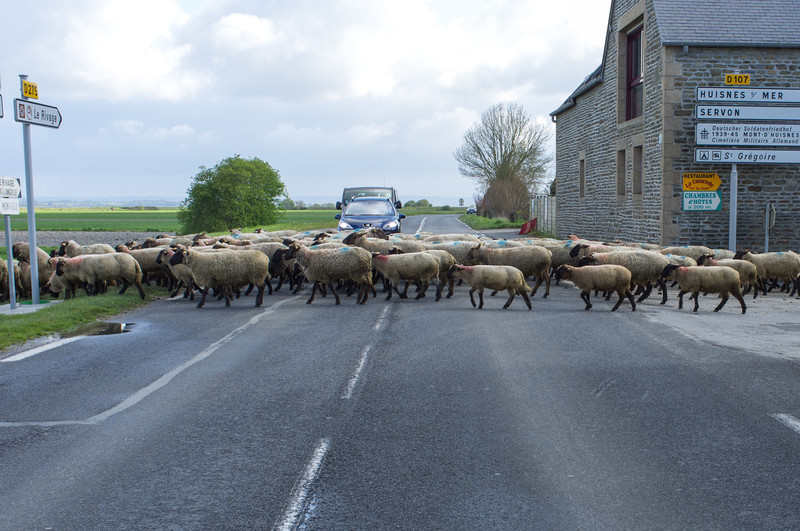 Leaving Mont St Michel, we stopped to let this herd of sheep cross the road. The lamb  meat from these sheep are prized for their unique salty taste, as the sheep graze on grass in the tidal flats.