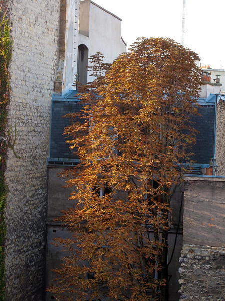 Morning sun on a fall tree across the street, Rue Buot, Paris