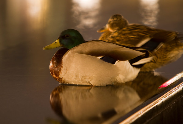 Ducks at Night