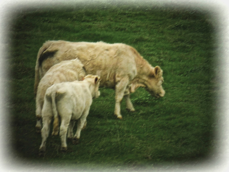 Charolais cattle viewed from high speed train