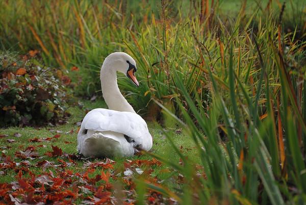 Swan in Our Backyard