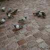 pigeons on cobblestone street in Paris