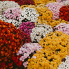 carpet of carnation flowers