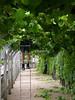 guy pruning grapes