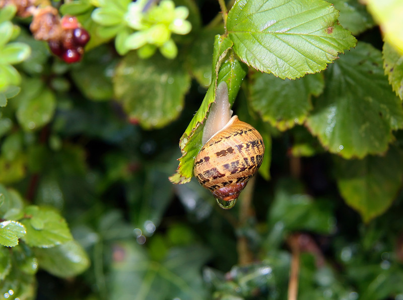 A dripping snail found on Ley Lane among the brambles while Mindy was searching for berries.