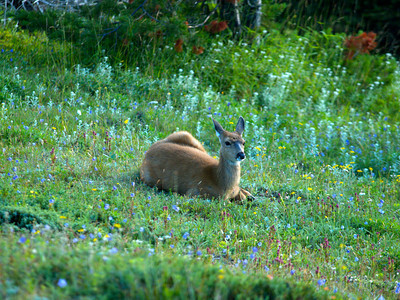 Resting Deer Copyright 2009 Neil Stahl