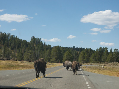 Our first bison in the road in the park  Copyright 2011 Neil Stahl