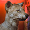 Cody, Wyoming - Buffalo Bill Historical Museum - A Stuffed Baby Coyote (I think)