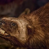 Cody, Wyoming - Buffalo Bill Historical Museum - A Stuffed Beaver