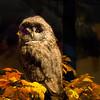 Cody, Wyoming - Buffalo Bill Historical Museum - A Stuffed Owl