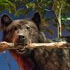 Cody, Wyoming - Buffalo Bill Historical Museum - A Stuffed Black Bear
