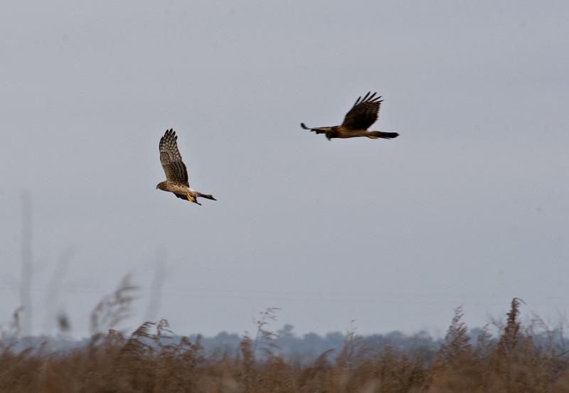 2 Harriers