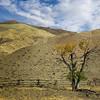 A Lone Tree on the road to Pahaska Tepee