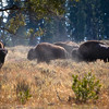 Shoshone National Forest of Wyoming - Bison Roaming Free