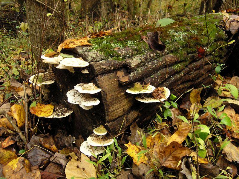 Fungus on Fallen Tree, Rock Creek Park, Rockville Maryland - October 2004