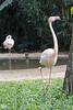Proud-looking flamingo.