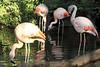 Flamingos with squiggly necks.