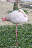 Sleeping flamingo?