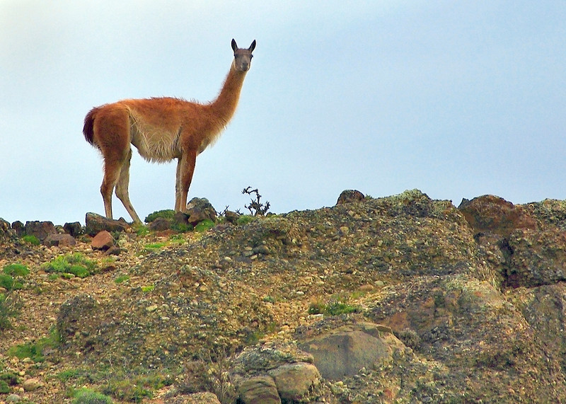 55. Guanaco---the park is home to a sizeable number of these distant relatives of the camel. They are a favorite meal of the park's cougars.