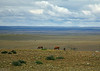 36. Horses on the Pampas---sheep were also seen.