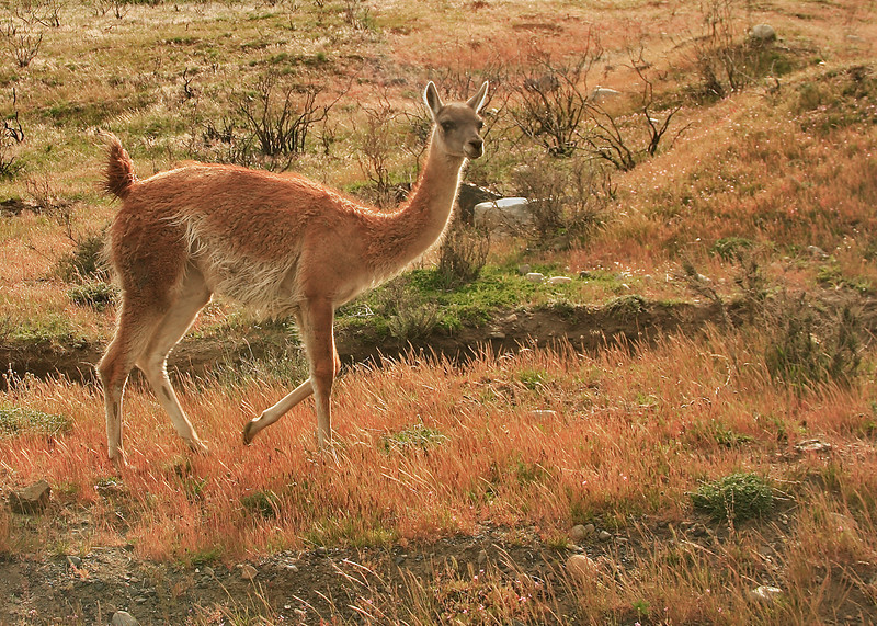 56. Another guanaco.