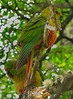 31. Austral parakeet couple.
