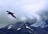 38. A cormorant in flight.