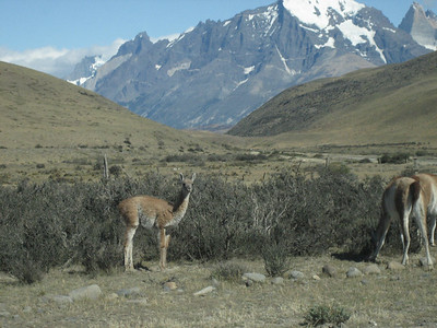 Guanaco llama looking at the silly tourists.