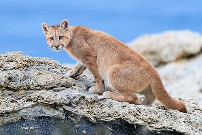 Curious Puma Cub