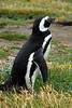 Penguin © llflan photography