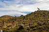 Guanacos on the road into Torres del Paine  © llflan photography